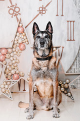 Malinois Belgian Shepherd dog breed is sitting in a New Year's interior