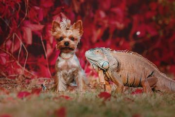 The green iguana or American iguana