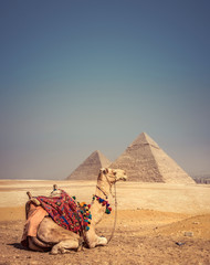 Poster Kameel Camel with the Pyramids of Gizeh, Egypt