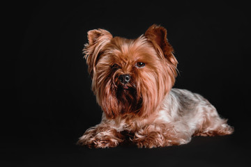 Yorkshire Terrier dog sitting on a black background in studio