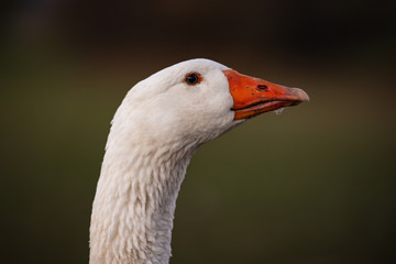Beautiful white goose portrait on a meadow in front of green background.