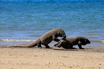 Two komodo dragons on beach, Komodo Island, East Nusa Tenggara, Indonesia