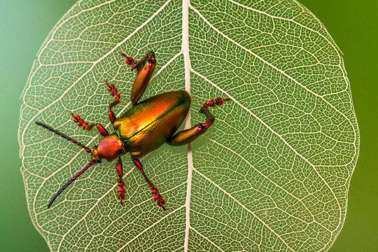 Close up of metallic shield bug on leaf