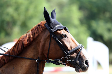 Head of a beautiful young sporting horse during competition outdoors.