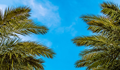 Branches and leaves of date palms