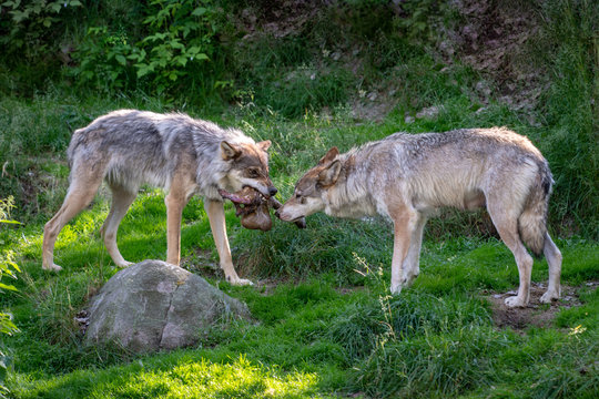 Two wolves fighting over food