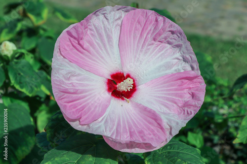 Pink And White Hardy Hibiscushibiscus Moscheutosrose Mallow
