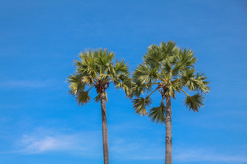 Sugar palm tree with in blue sky background.
