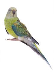 parrot female (haematonotus psephotus) isolated