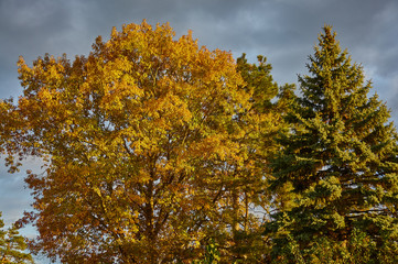 Red oak (Quércus rúbra) and blue spruce in the rays of the sun at sunset .. Yellow leaves with shades of red on the oak crown and against the sky in gray clouds. Golden autumn for design.