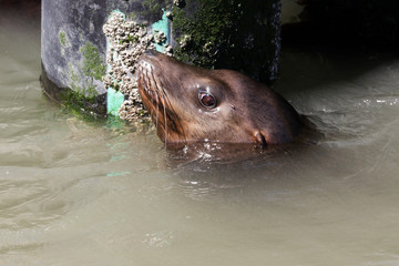 A sea lion looks curiously out of the water. Sea Lions at San Francisco Pier 39 Fisherman's Wharf has become a major tourist attraction.