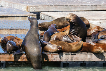 Many sea lions lie on a raft and bathe in the sun. Sea Lions at San Francisco Pier 39 Fisherman's Wharf has become a major tourist attraction.