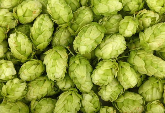 Close up background of fresh green beer hops