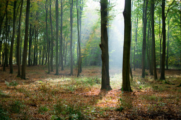 Obraz sylwetki drzew w lesie, promienie słońca - fototapety do salonu