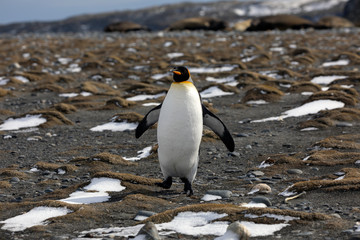 King Penguin runs on the beach on Salisbury Plain on South Georgia in Antarctica