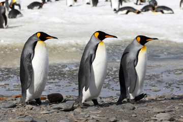 Three king penguins walk in a row on Salisbury Plain on South Georgia in Antarctica