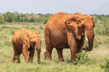 Elefantenmutter mit Kind in Kenia