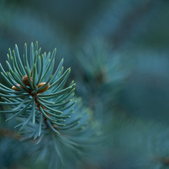 blue spruce growing in the park