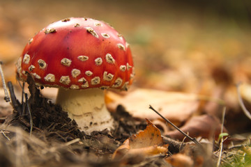 Amanita muscaria or fly agaric mushroom growing in the dirt in autumn