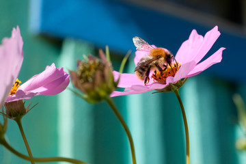 Pink flower with a bee. Delicate flower space outdoors closeup. Macro bee.