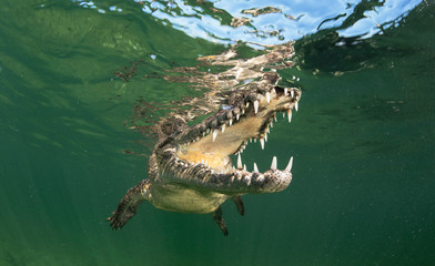 Cuban Crocodiles