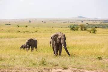 Elephants who walk on the savanna