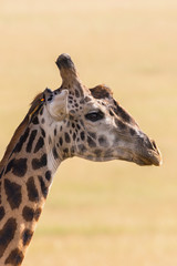 Giraffe portrait with a oxpecker sitting on his head