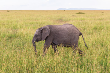 Elephant calf walking in the grass in the wilderness