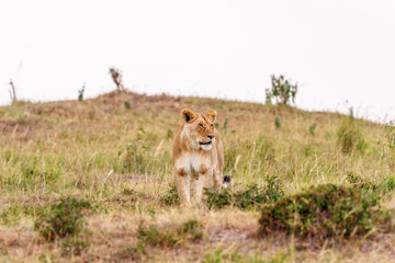 Lioness standing and scouts in the savannah