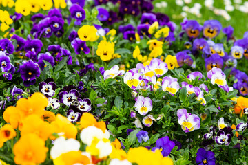 Photo sur Toile Pansies Pansy flowers are blommong in the garden