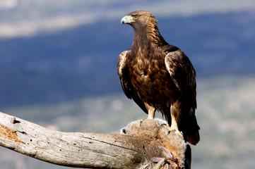 Poster Eagle Adult female of Golden Eagle Aquila chrysaetos