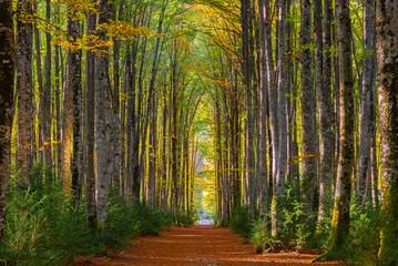Mata del Haya beech forest, Belagua valley, Navarre, Spain