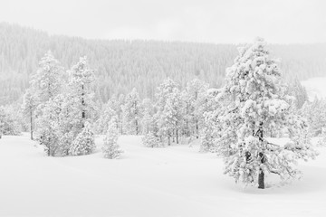 Ice cold high-key winter landscape with fir trees in the foothills of Switzerland