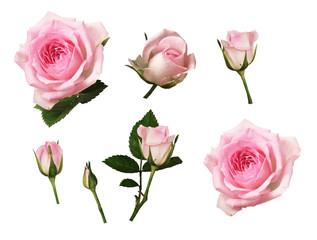 Set roze roze bloem en knoppen