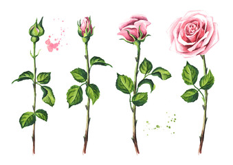 Pink rose flower set. Watercolor hand drawn illustration,  isolated on white background