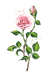 Pink roses. Watercolor hand drawn illustration,  isolated on white background