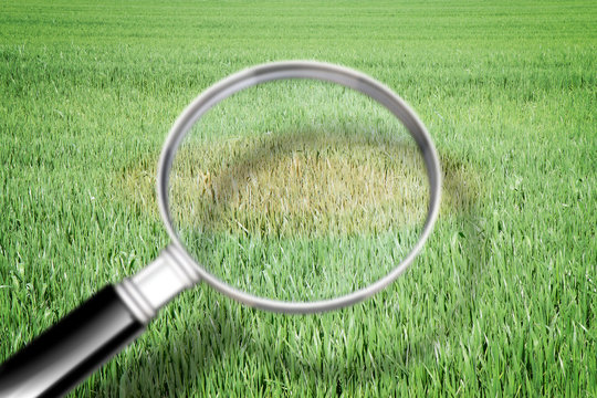 Magnifying glass with green grass background - Grass disease concept image