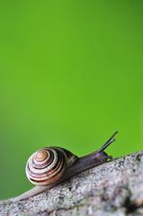 Snail Bänderschnecke Caepea hortensis