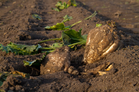 Two sugarbeets and some leafs left on the field after harvest