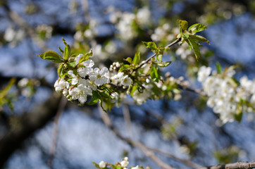 White cherry blossoms on branch