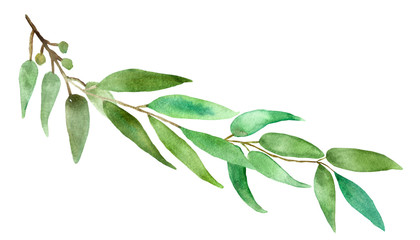 Watercolor hand painted branch with silver leaves and branches eucalyptus dollar, green fresh bouquet medicinal eucalyptus