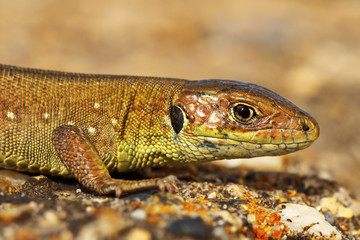 closeup of juvenile green lizard