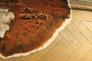 fruiting body of dry rot