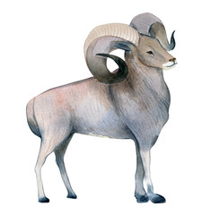 Watercolor illustration isolated on white background. A brown ram stands. Splashes sketch of wild mountains north animals