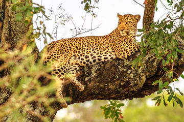 Fototapeten Leopard Side view of African Leopard species Panthera Pardus, resting in a tree outdoors. Big cat in Kruger National Park, South Africa. The leopard is part of the popular Big Five.