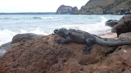 Marine Iguana sunning on a rock on Bartolome Island, Galapagos Islands