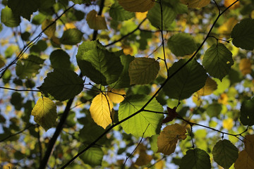 Hazel green yellow leaves branch fall autumn