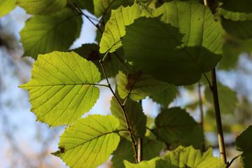 Hazel green yellow leaves branch fall autumn