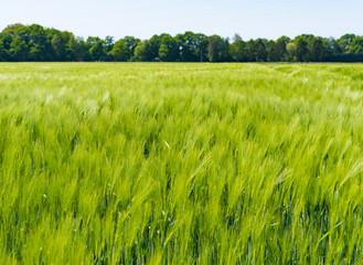 windy fileld of grain