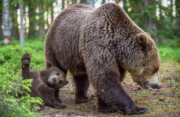 She-bear and cubs in the summer forest. Scientific name: Ursus arctos. Natural  Background. Natural habitat. Summer season.